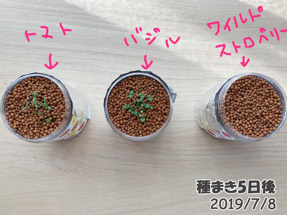 育てるグリーンペット5日目でワイルドストロベリーも発芽