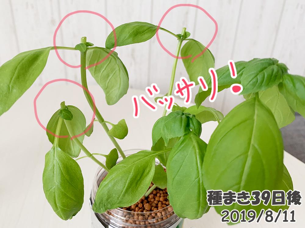 育てるグリーンペット_バジル摘芯と収穫