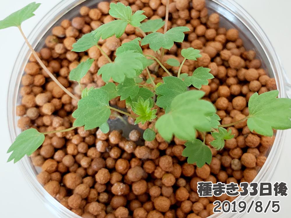 育てるグリーンペット33日目_ワイルドストロベリーのカビ