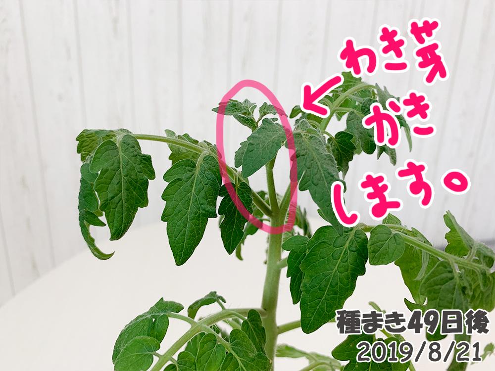 育てるグリーンペット49日目_脇芽かきを忘れたミニトマト