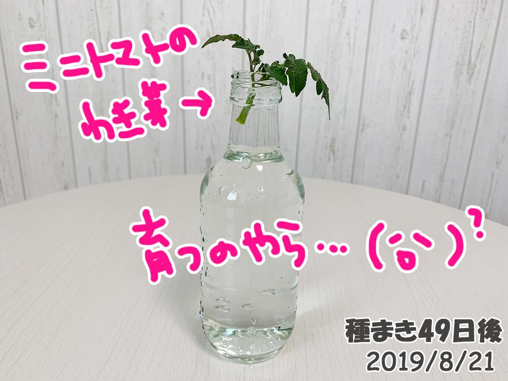 育てるグリーンペット49日目_ミニトマトの脇芽を水にさしてみた