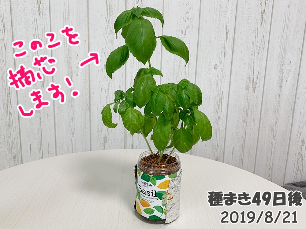育てるグリーンペット_バジル_摘芯