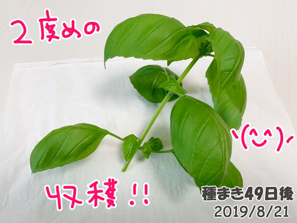 育てるグリーンペット_二度目の摘芯と収穫