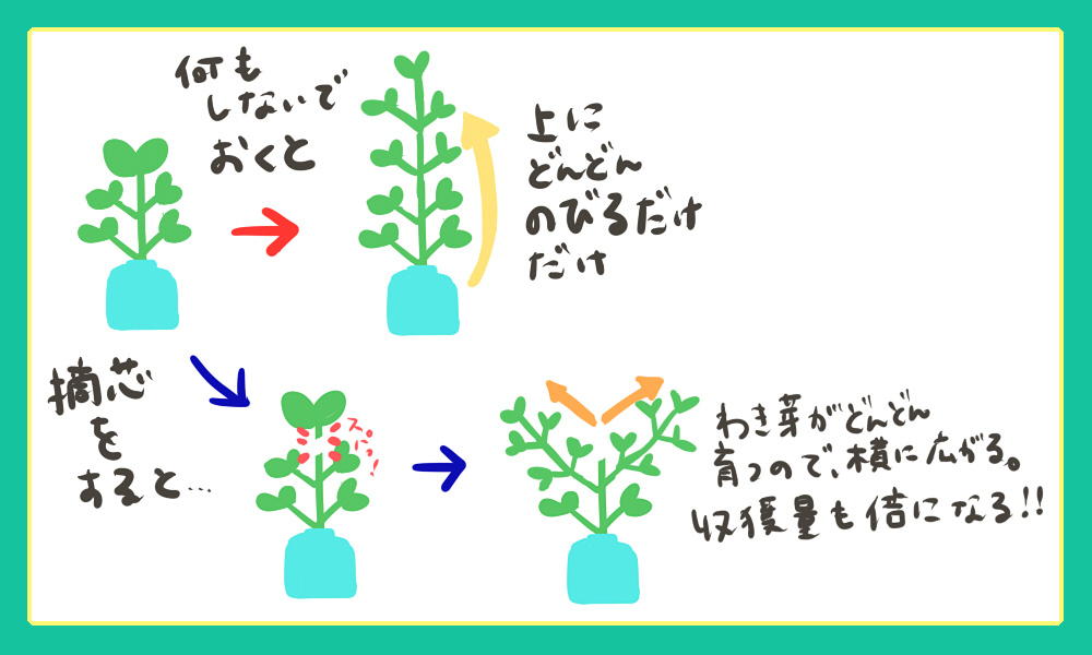 水耕栽培バジルの摘芯について図解