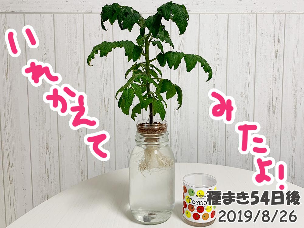 育てるグリーンペット54日目_ミニトマトの容器をお引越し