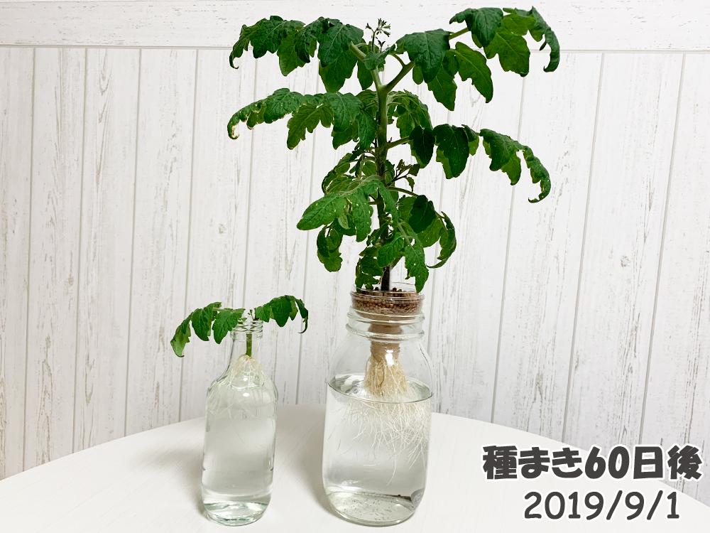 育てるグリーンペット60日目_二か月経過!もはやペットボトル水耕栽培じゃない