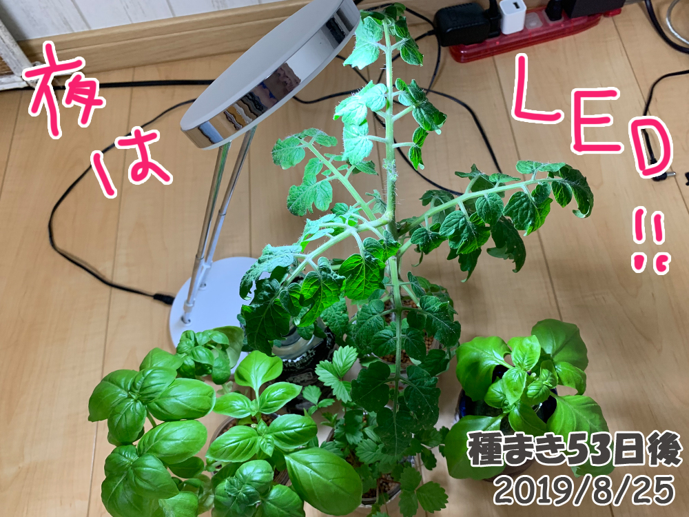 育てるグリーンペット53日目_LEDライトを当てる