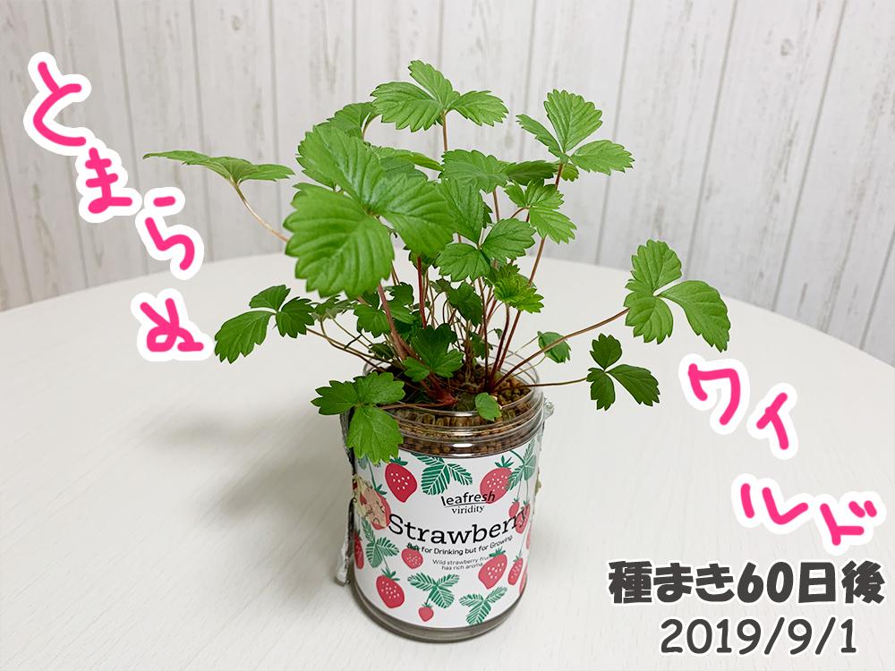 育てるグリーンペット60日目_2か月目でもとまらぬワイルドストロベリー