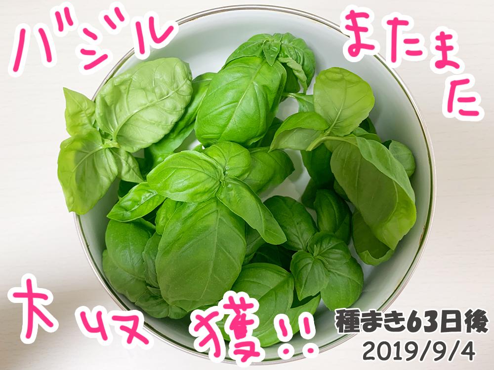 育てるグリーンペット_バジル大収穫