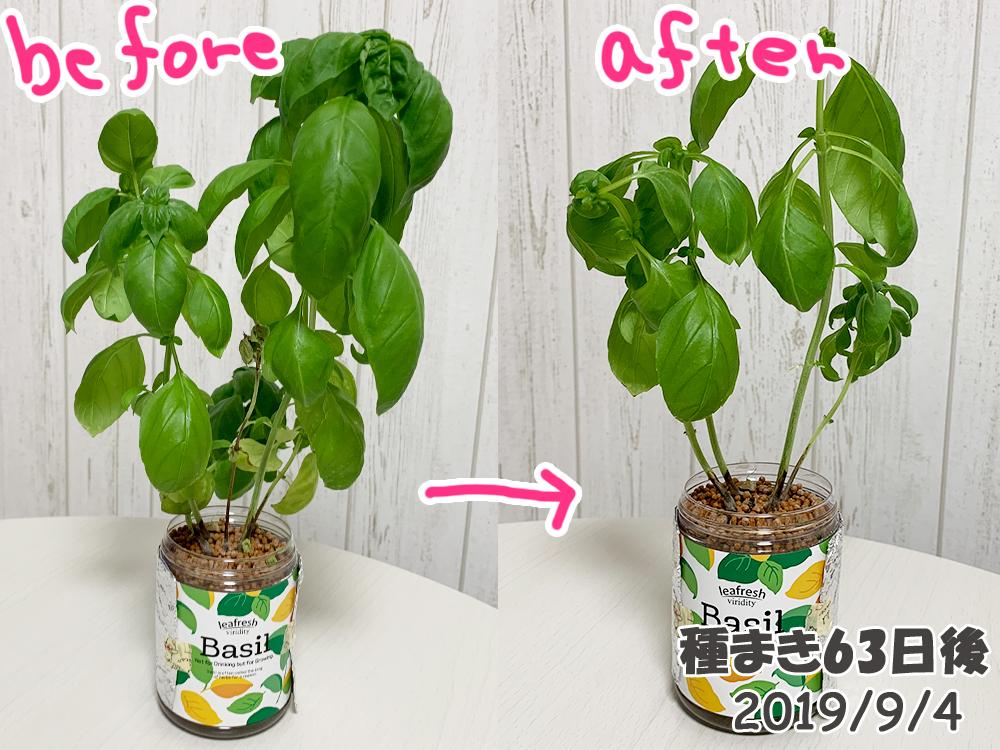 育てるグリーンペット_バジル3度目の収穫と摘芯