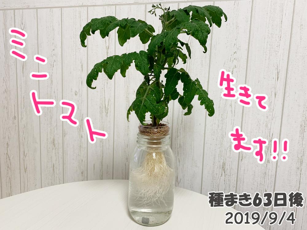 育てるグリーンペット63日目_徐々に元気になるミニトマト