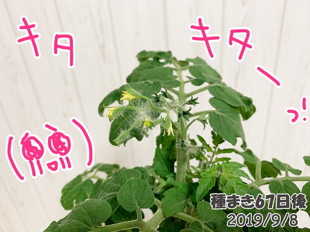 育てるグリーンペット67日目_ミニトマト開花