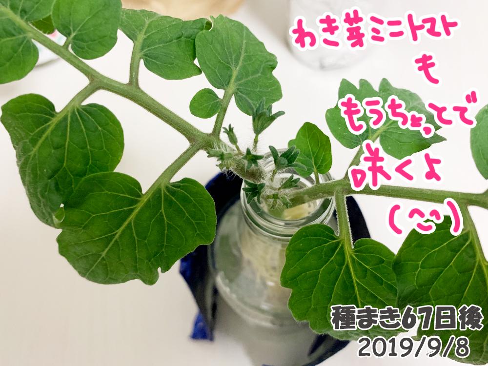 育てるグリーンペット67日目_脇芽のミニトマトも開花しそう