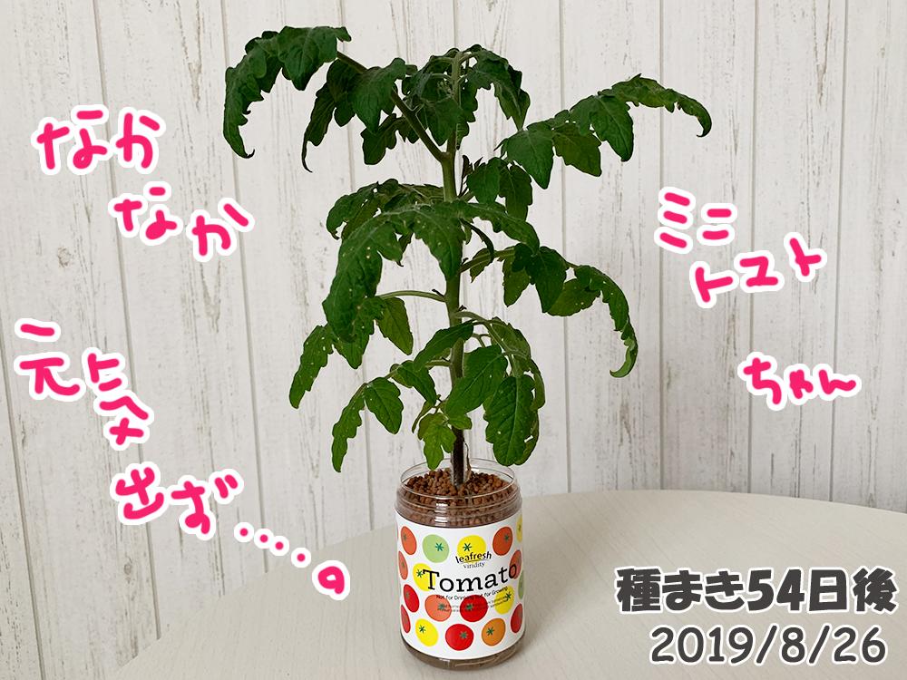育てるグリーンペット54日目_元気がないミニトマト