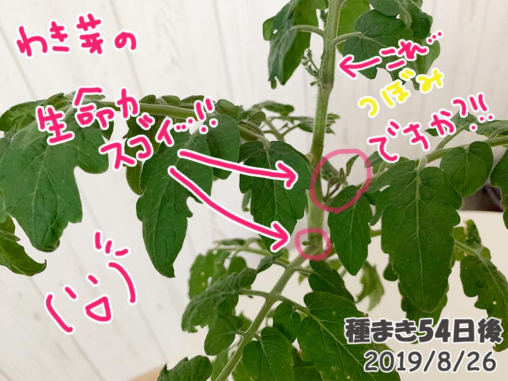 育てるグリーンペット54日目_でも脇芽だけはぐんぐん生えてくるミニトマト