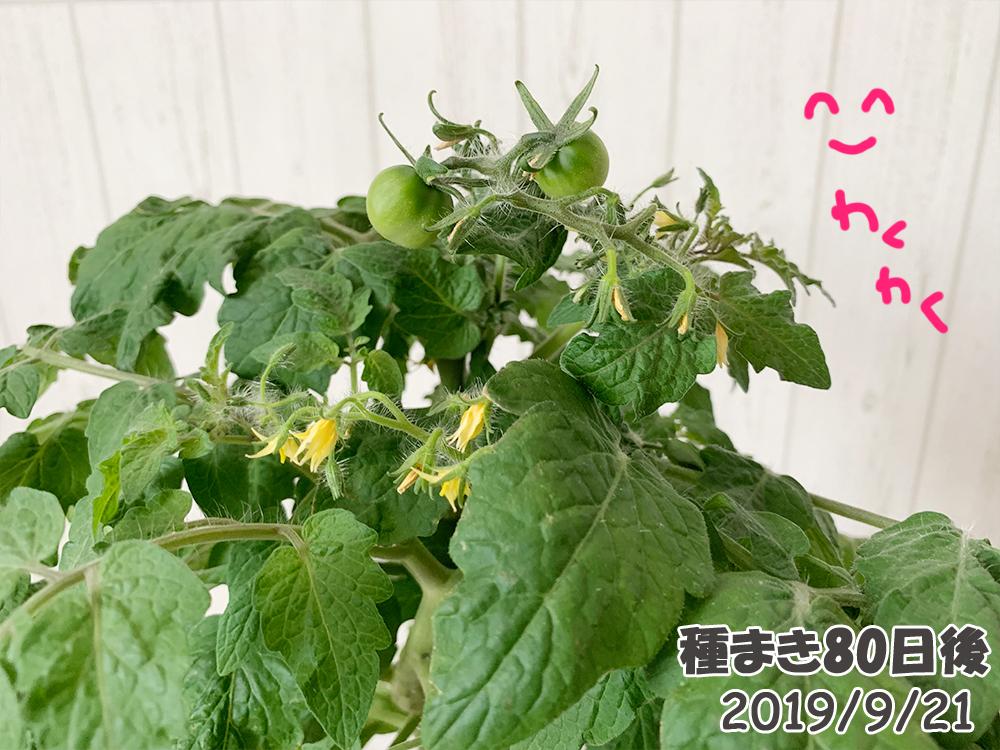 育てるグリーンペット80日目_ミニトマト