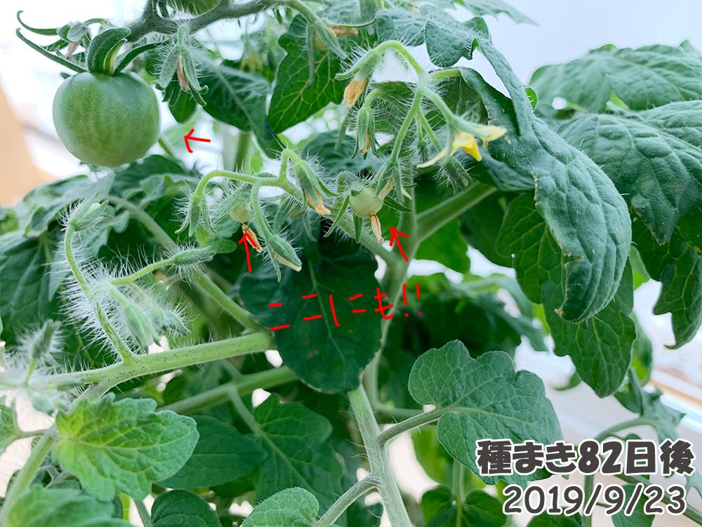 育てるグリーンペット82日目_たくさんのミニトマトの実