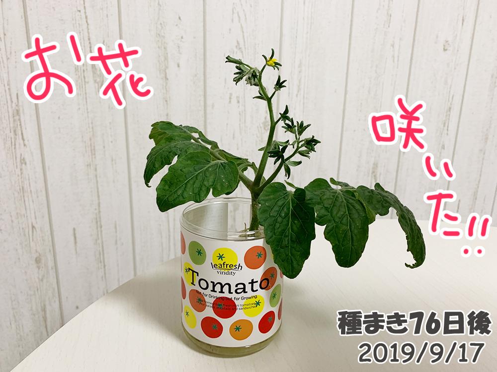育てるグリーンペット76日目_脇芽のミニトマトも開花