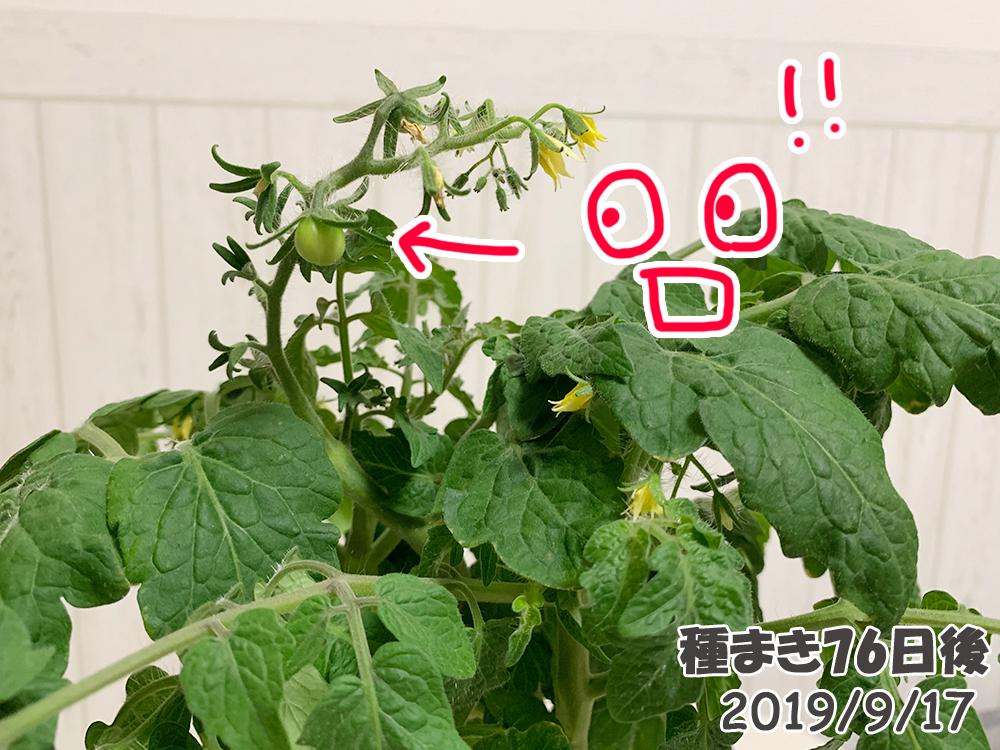 育てるグリーンペット76日目_ミニトマトに実がなった