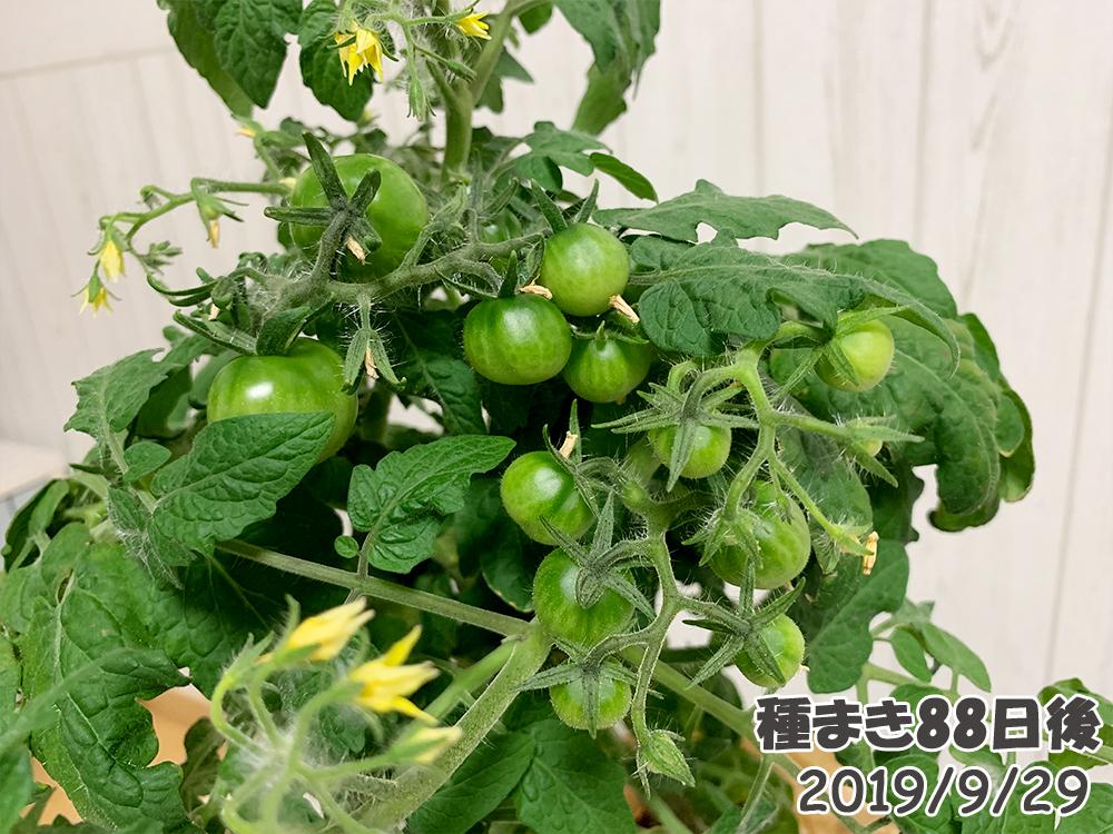 育てるグリーンペット88日目_たくさんのミニトマトの実