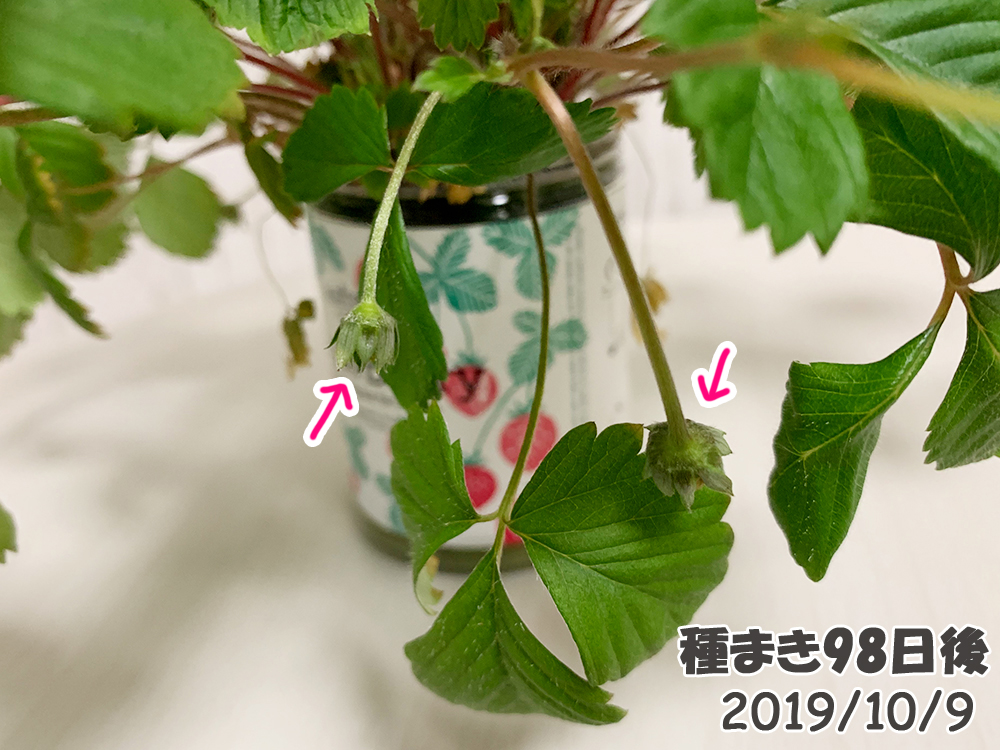 育てるグリーンペット98日目_ワイルドストロベリーのつぼみ