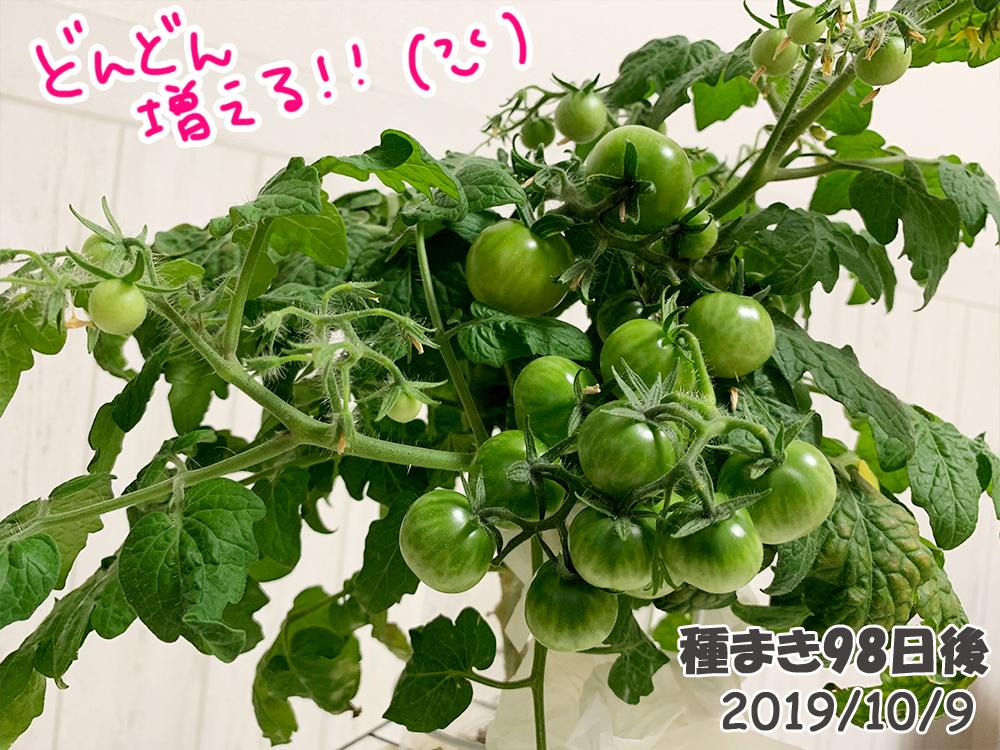 育てるグリーンペット98日目_どんどん増えるミニトマト