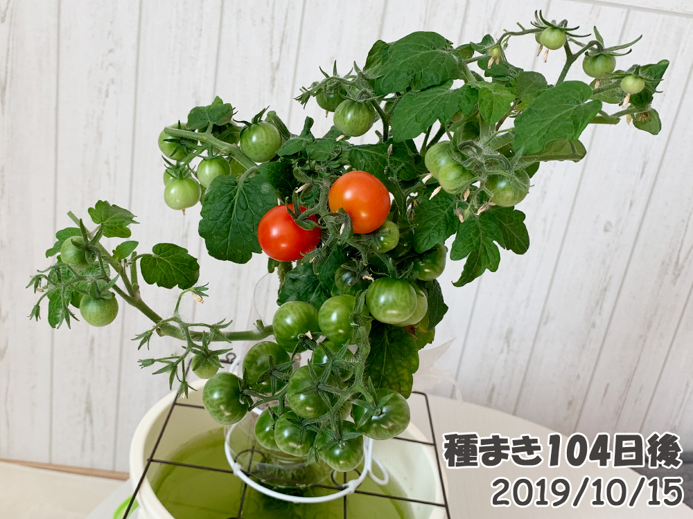 育てるグリーンペット104日目_ミニトマトが赤くなった