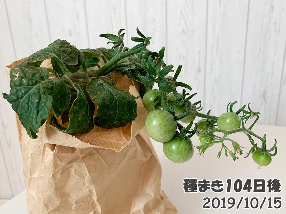 育てるグリーンペット104日目_脇芽ミニトマトも大きくなった