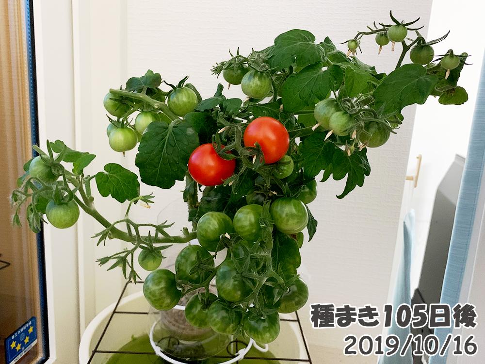 育てるグリーンペット105日目_ミニトマトが赤く