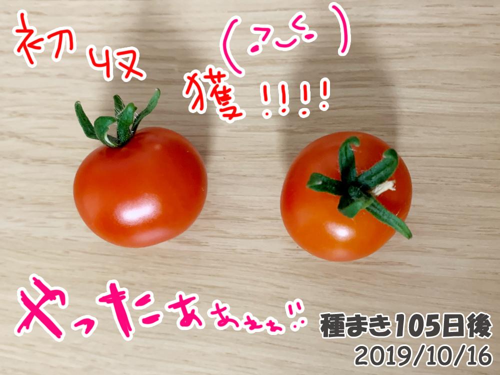育てるグリーンペット105日目_やっとこさミニトマト収穫!