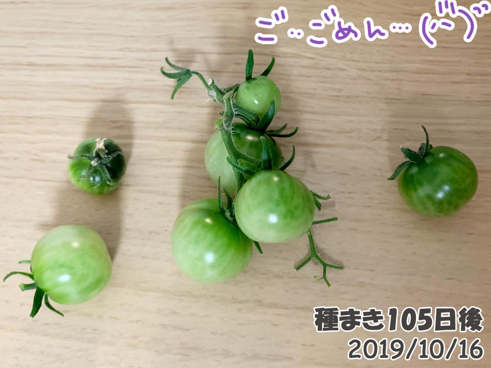 育てるグリーンペット105日目_悲劇。落下したミニトマト