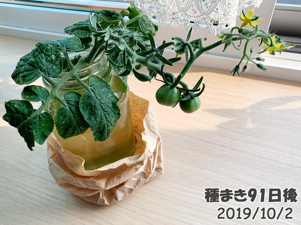 育てるグリーンペット91日目_脇芽ミニトマトを瓶に入れ替えた