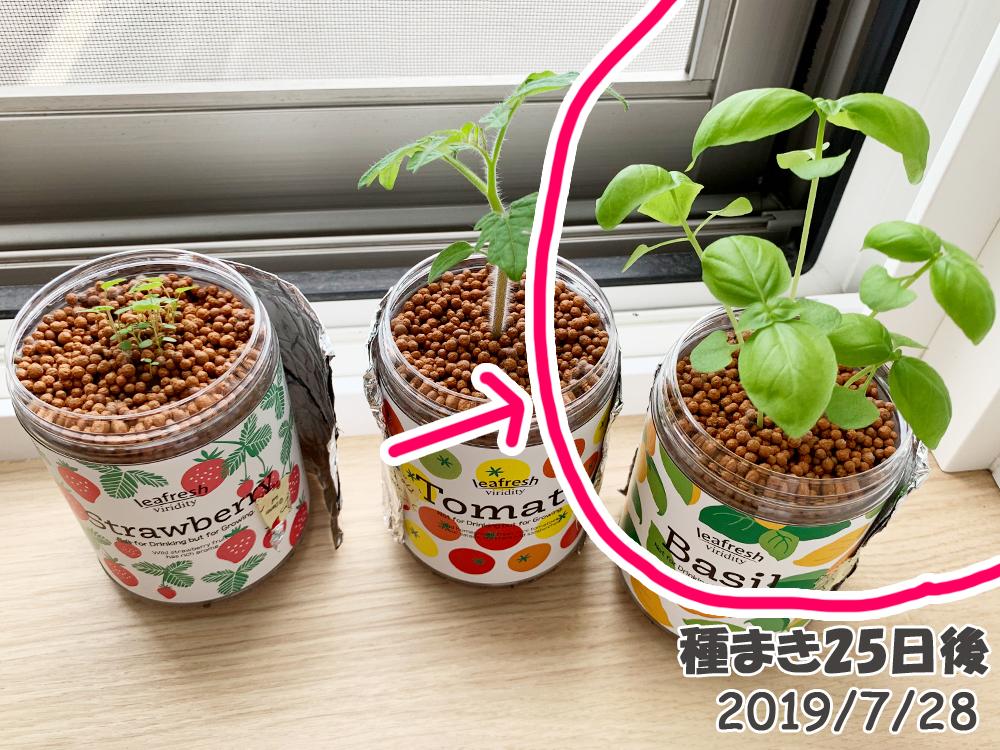 育てるグリーンペット_バジル成長