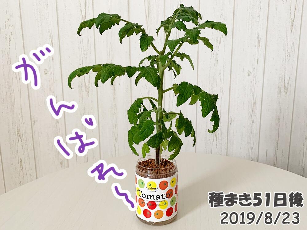 育てるグリーンペットミニトマトの栽培_ミニトマトまだしおれている