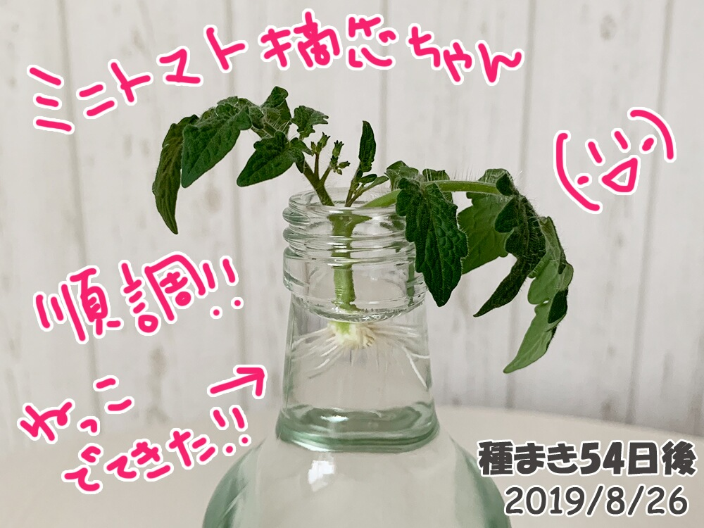 育てるグリーンペットミニトマトの栽培_脇芽ミニトマトから根が出た