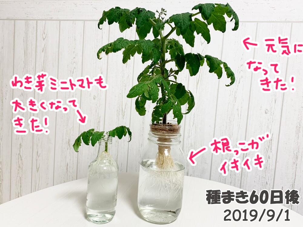 育てるグリーンペットミニトマトの栽培_根腐れ復活