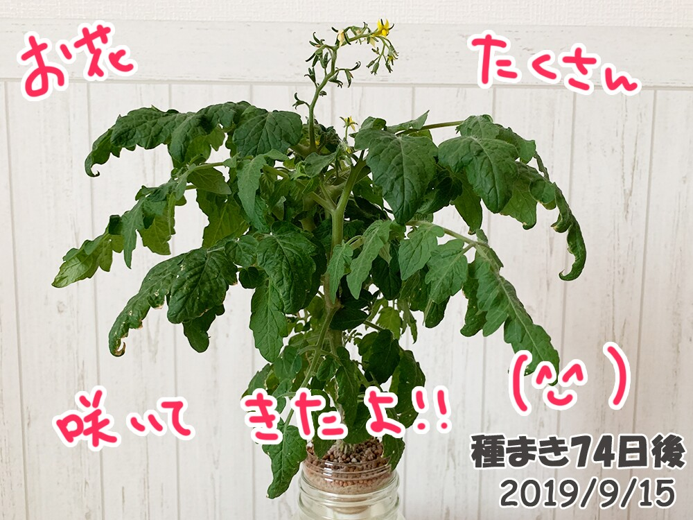 育てるグリーンペットミニトマトの栽培_ついに開花