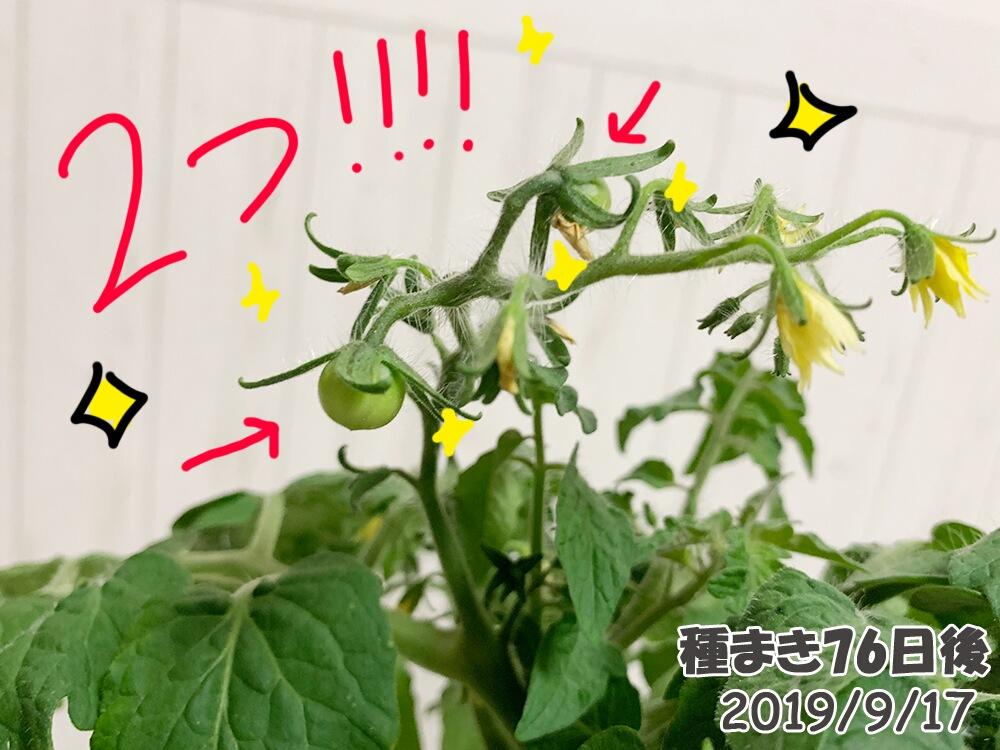 育てるグリーンペットミニトマトの栽培_ついに実がなりました