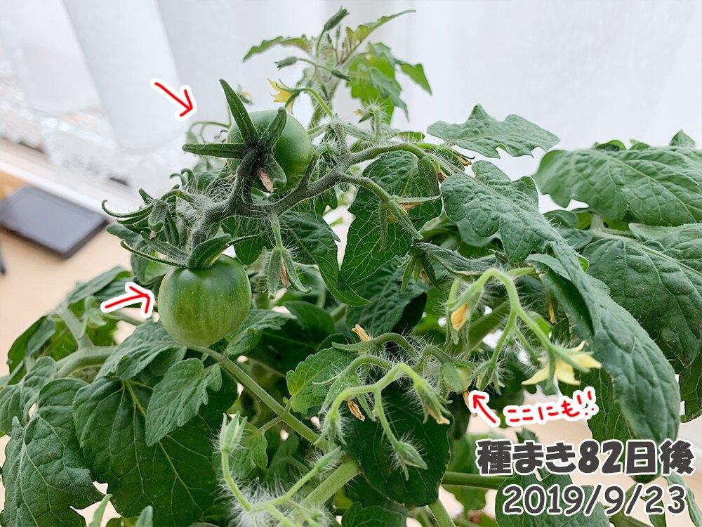 育てるグリーンペットミニトマトの栽培_どんどん実がなる3