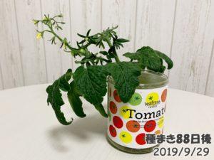 育てるグリーンペットミニトマトの栽培_脇芽のミニトマトも実が!