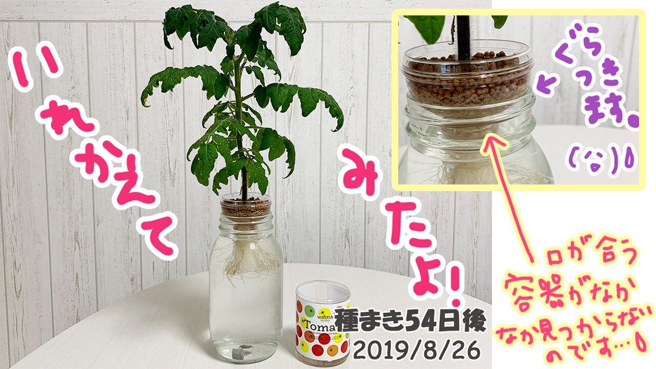 育てるグリーンペットミニトマトの栽培_根腐れがひどかったので大きな器に入れ替えました