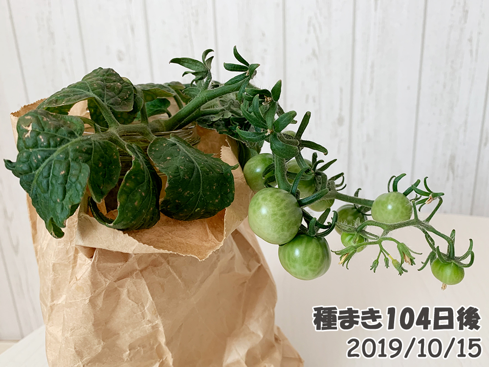 育てるグリーンペットミニトマトの栽培_脇芽ミニトマト隔離