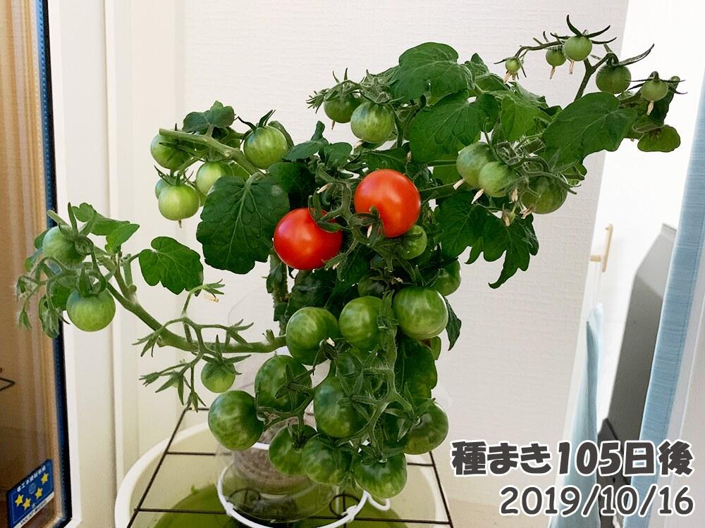 育てるグリーンペットミニトマトの栽培_真っ赤に!