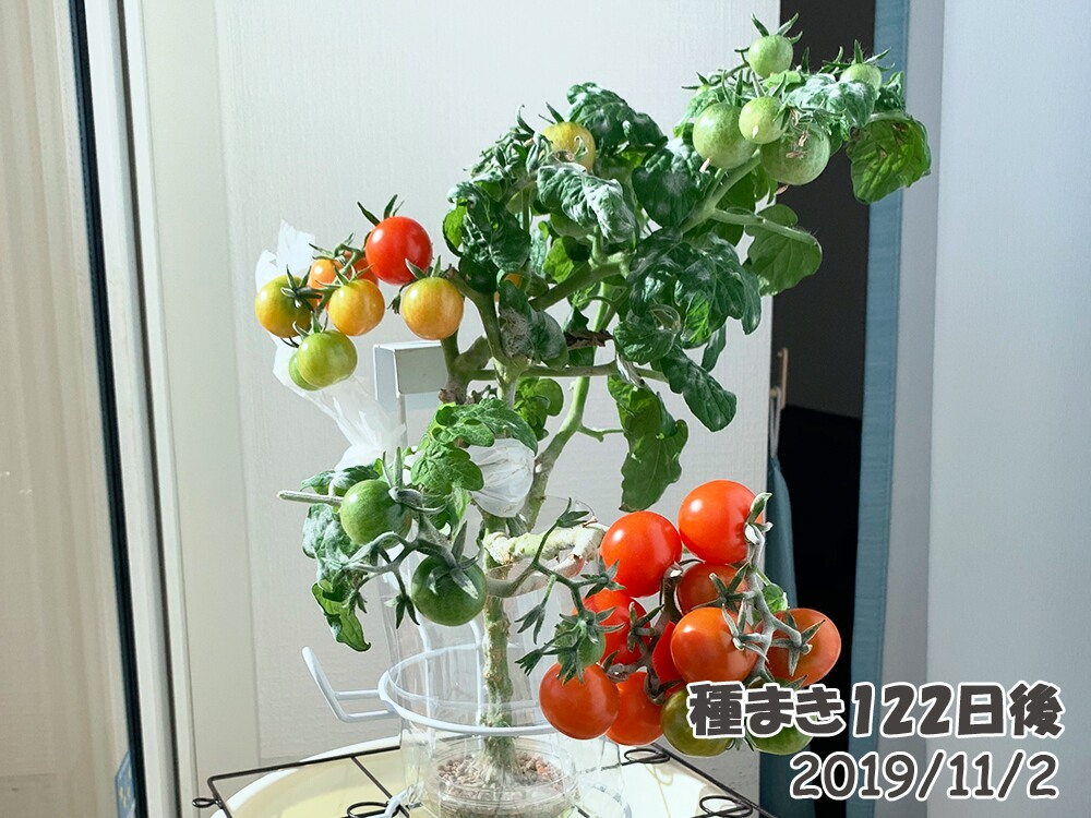 育てるグリーンペットミニトマトの栽培_葉っぱがなくなっていくミニトマト