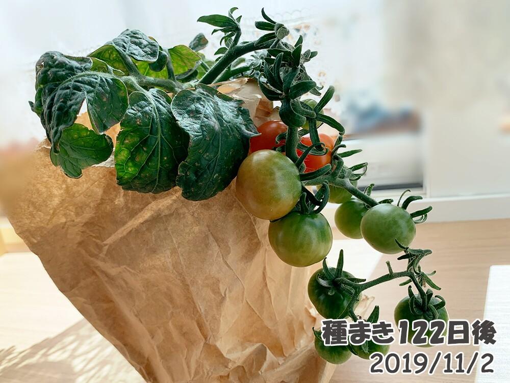 育てるグリーンペットミニトマトの栽培_脇芽ミニトマトも色づいてきた