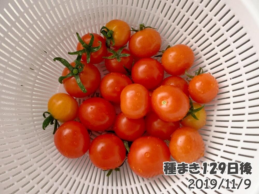 育てるグリーンペットミニトマトの栽培_最後の大収穫