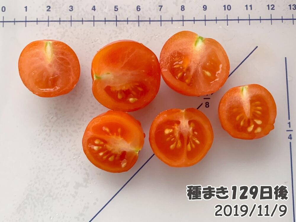 育てるグリーンペットミニトマトの栽培_うどん粉病のミニトマトを切った断面図