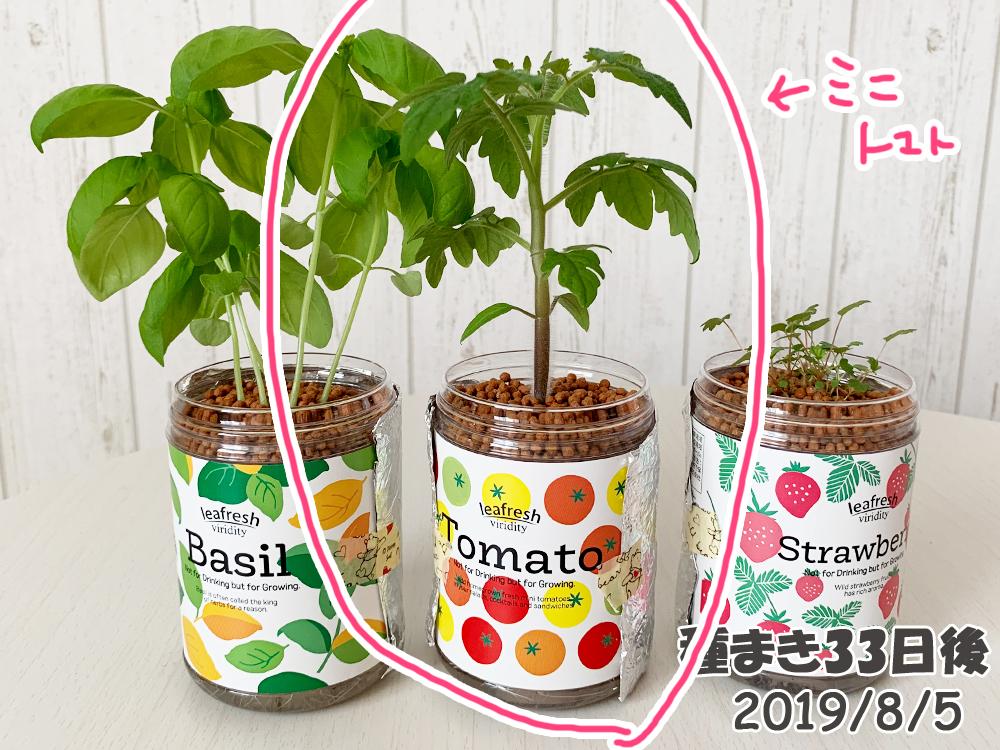 育てるグリーンペットミニトマトの栽培_大きくなるミニトマト