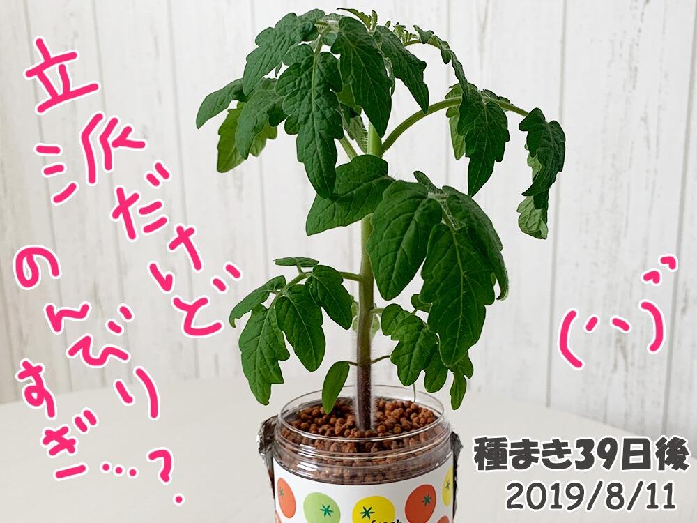 育てるグリーンペットミニトマトの栽培_のんびりしすぎなミニトマト
