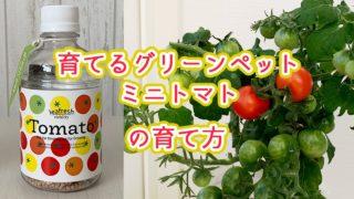 育てるグリーンペットミニトマトの栽培方法